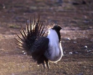 Male sage grouse strut during their annual mating dance.  Photo credit: National Parks Service