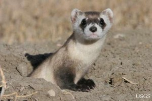 Freeloading ferrets to gorge on prairie dogs in wildlife refuge.