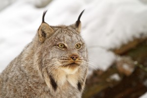 Canada_lynx_portrait_by_Michael_Zahra