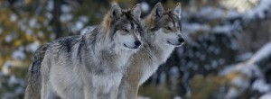 Mex Gray Wolf_iStock_000000423189Large_SlideSmall