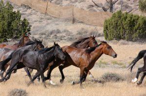 horses blm