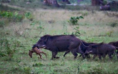 BUT WHO WILL SAVE THEM? Colorado Successfully Eradicates Invasive Pigs